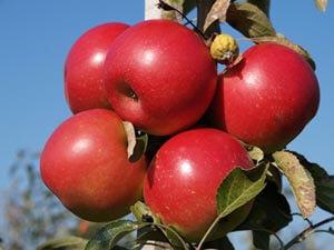 Æbler, æblesort, Bellida, bedste æblesorter, top 3, sødt, sprødt, saftigt fast. gårdbutik og selvpluk