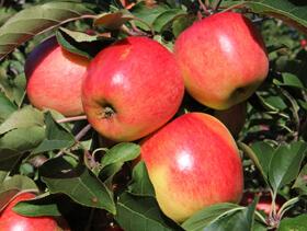de bedste æblesorter hitliste, Bellida, Wellant, Pinova, Santana, Zari