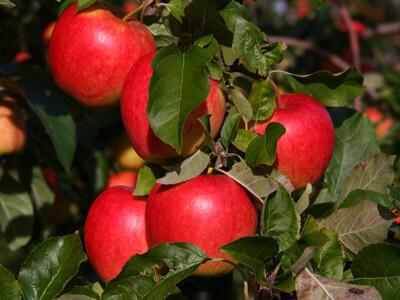 Æblesorter Elstar syrligt