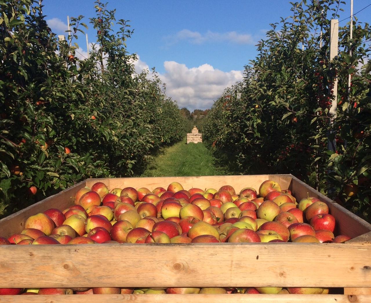 wellant - det mest populære syrlige æble