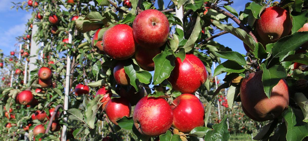 wellant æble gårdbutik