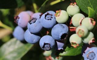 Selvpluk blåbær