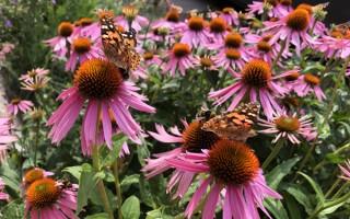 Insektvenlige bi venlige stauder