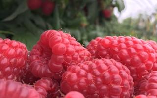 hindbær og brombær