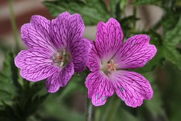 Stauder Geranium