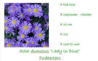 Asters Lady in Blue