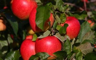 Elstar bedste æblesorter syrligt