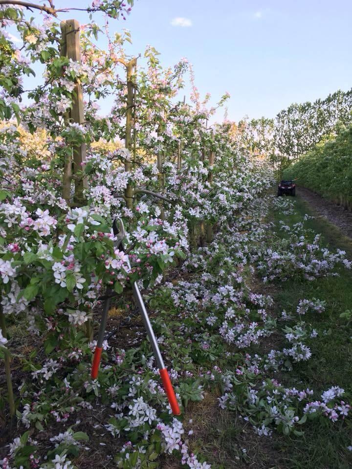 Blomstring beskæring æbler
