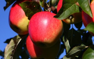 pinova bedste æblesorter
